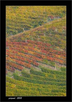 Vineyards of Langhe - Neive, Cuneo #Italy