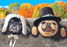 Thanksgiving Pugs - much have gotten into the Turkey before dinner was served!
