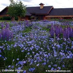 """One of the easiest native wildflowers to grow from seed, Blue Flax adds charming, light blue blooms to the early season garden. Growing to be only 18-30"""" tall, this variety is perfect for the front of the meadow or a small space garden. We love Blue Flax paired with perennial lupine for a cool look, or planted on its own. This variety tolerates sandy, dry soil and will grow in almost any sunny spot. All of the seed we handle at American Meadows is non-GMO, neonicotinoid-free and guaranteed…"""