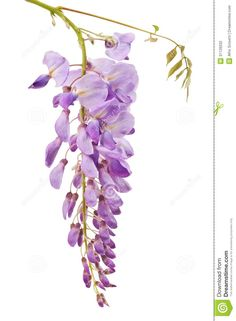 Wisteria - Download From Over 38 Million High Quality Stock Photos, Images, Vectors. Sign up for FREE today. Image: 31126032