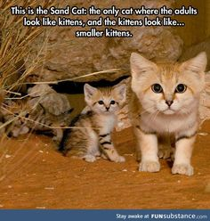 Funny pictures about The Sand Cat. Oh, and cool pics about The Sand Cat. Also, The Sand Cat. Cute Funny Animals, Cute Baby Animals, Animals And Pets, Funny Cats, Cute Kittens, Cats And Kittens, I Love Cats, Crazy Cats, Funny Animals