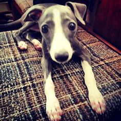 adorable iggy puppy. Italian Greyhound