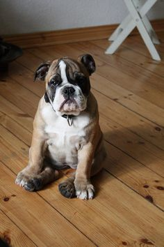 There is hardly a breed with more character than an English Bulldog!  :-)