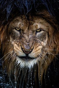 """""""Through the lens, I felt his stare; it was powerful enough to make me stop shooting, and for that moment, time seemed to pause and nothing else existed but this massive imposing lion intensely staring back at me."""" Photograph by Eric Esterle."""