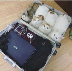 Do you think TSA will find out? #aww #cute #cutecats #dinkydogs #animalsofpinterest #cuddle #fluffy #animals #pets #bestfriend #boopthesnoot