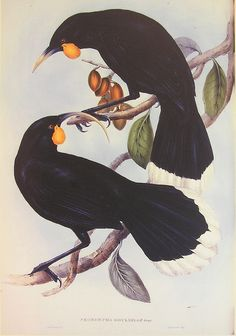 The Huia birds of New Zealand are now extinct. A male/female pair is illustrated - the male has the shorter beak. New Zealand Tattoo, New Zealand Art, New Zealand Image, Extinct Birds, Extinct Animals, John Gould, Nz Art, Maori Art, Kiwiana
