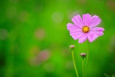 Cosmos flower flowers nature- Image 1920x1080