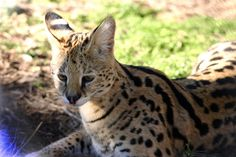 Santana Serval | Carolina Tiger Rescue Serval, Big Cats, Panther, Cute Animals, Nature, Gatos, Pretty Animals, Naturaleza, Panthers