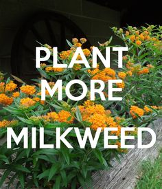 plant more milkweed