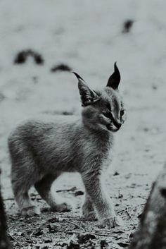 We Love Cats!: Baby Linx