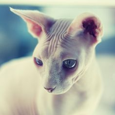 The Canadian Hairless cat, also known as the Sphynx, is a beautiful breed. I love their dainty paws and enormous eyes.