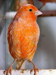 Canario naranja.                                                                                                                                                                                 Más