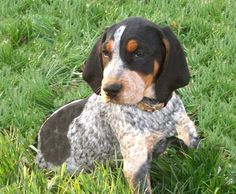 blue tick hound photo | Train Blue Tick Coonhound As a Puppy for Family Dog | Bloggie Doggie's ...