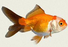 Oranda Fancy Goldfish | red-black-white-oranda-fancy-goldfish.jpg