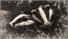 badger print picture british wildlife fine art animal images sketch b/w drawing Realistic Animal Drawings, Pencil Drawings, Pencil Art, British Wildlife, Wildlife Art, Badger Illustration, Black And White Drawing, Animal Sketches, Animals Images