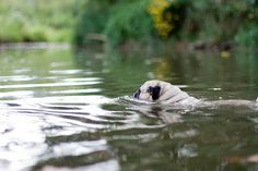 A pug swimming. By Amber Goshorn.