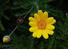 Cota tinctoria (golden marguerite, yellow chamomile, oxeye chamomile).   Order:Asterales Family:Asteraceae Genus:Cota Species:C. tinctoria