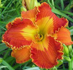 Spirit of Halloween Daylilies Buy George - Links