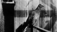 """Martha,"" thought to be the last passenger pigeon. Martha died on Sept. 1, 1914, in the Cincinnati Zoo."