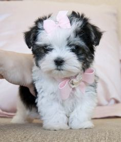 Teacup Biewer Morkie PrincessAbsolutely Adorable!Look at this Face!!!Sold Moving to Georgia!