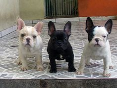 'The Dudes', French Bulldog Puppies