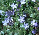 Top 10 Trees and Plants That Love the Shade: Picture of periwinkle flowers.