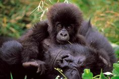 Virunga National Park, Democratic Republic of the Congo:  Covering an area of 790,000 ha, comprises an outstanding diversity of habitats, ranging from swamps and steppes to the snowfields of Rwenzori at an altitude of over 5,000 m, and from lava plains to the savannahs on the slopes of volcanoes. Mountain gorillas are found in the park, some 20,000 hippopotamuses live in the rivers and birds from Siberia spend the winter there.