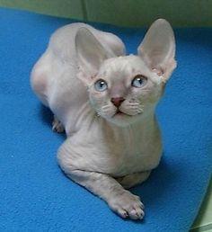 ♥CG♥ 53 Cornish Rex Cat Origin; United Kingdom Breed: Mutation