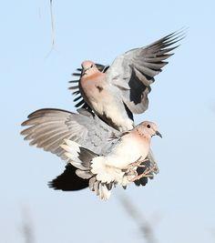 Ballet of doves | Flickr - Photo Sharing!