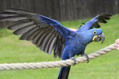 Αποτέλεσμα εικόνας για caigs parrots