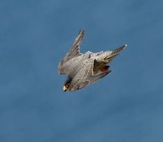 Not an easy shot to get since the falcon is approaching 200 miles per hour, all while being in complete controll. Raptor Bird Of Prey, Birds Of Prey, Crazy Bird, Big Bird, Merlin Bird, Falcon Tattoo, Animal Quiz, Peregrine Falcon, Red Tailed Hawk