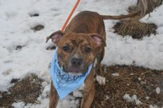 SAFE --- URGENT - Staten Island Center    BANE - A0991228   MALE, BR BRINDLE / WHITE, AMERICAN STAFF / BOXER, 11 mos  OWNER SUR - EVALUATE, NO HOLD Reason COST   Intake condition NONE Intake Date 02/07/2014, From NY 10314, DueOut Date 02/07/2014 ORIGINAL THREAD: https://www.facebook.com/photo.php?fbid=754331611246387&set=a.617941078218775.1073741869.152876678058553&type=3&theater
