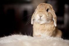 mr. handsome,   holland lop, bunny, rabbit