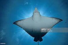 Afbeeldingsresultaat voor spotted eagle ray Spotted Eagle Ray, Sculptures, Abstract, Summary, Sculpture
