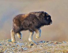 I saw your baby sloth wombat and donkey! Prepare for the baby bison! I saw your baby sloth wombat and donkey! Prepare for the baby bison! So Cute Baby, Cute Babies, Buffalo Animal, Baby Buffalo, Buffalo Art, Baby Possum, Baby Sloth, Cute Baby Animals, Animals And Pets