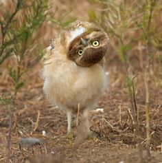 A photographer covertly taking pictures of a group of owls thought he'd managed to avoid their detection - until one of the chicks turned its head upside down and spotted the movement of the camera.