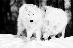 Arctic wolf. Arctic Wolf, Arctic Animals, Wolf Mates, Wolf Husky, Dances With Wolves, Wolf Pictures, Wolf Howling, Lone Wolf, Wild Dogs