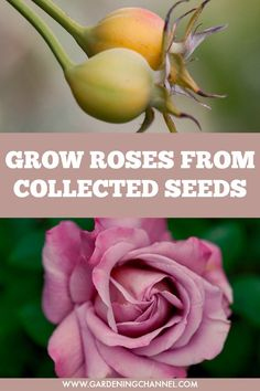 roses from collected seeds and save money expanding a rose garden.Propagate roses from collected seeds and save money expanding a rose garden. Gardening For Beginners, Gardening Tips, Flower Gardening, Gardening Quotes, Gardening Vegetables, Comment Planter Des Roses, Rose Garden Portland, Rose Cuttings, Rose Propagation