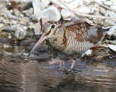 Afficher l'image d'origine Shorebirds, Arctic Fox, Game Birds, Sea Birds, Bird Watching, Blue Bird, Squirrel, Hunting, Photos