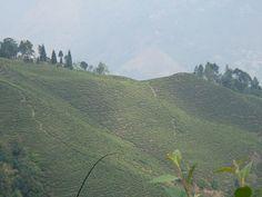 Jardin de Darjeeling Avongrove  Darjeeling Avongrove Tea garden by Camellia-Sinensis, via Flickr