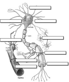 Ask A Biologist Coloring Page Neuron Anatomy