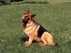 German Shepherd.. :3
