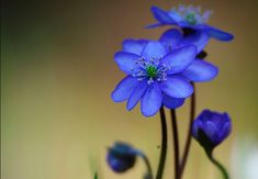 Få en skovbund med anemoner i haven Growing Grapes, Growing Plants, Small Flower Arrangements, Flower Garden Plans, Shade Flowers, Purple Flowers, Aquaponics Plants, Amazing Flowers