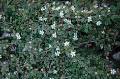 11 Best Cotoneaster Dammeri Images Ground Covering Home