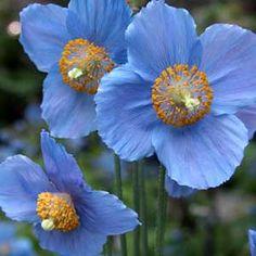 Photo de  Pavot bleu de l'Himalaya - Meconopsis betonicifolia