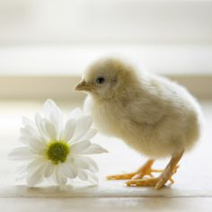 little baby chick