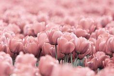 Pink Tulips - my fav.