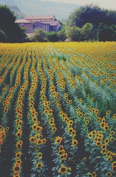 To do: visit a sunflower field. Only take one picture, then truly enjoy the scenery.
