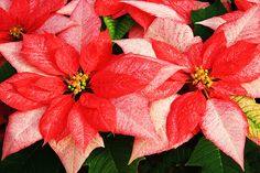 poinsettias | Plant of the Month – Poinsettia 'Monet' : Personal Plant Service