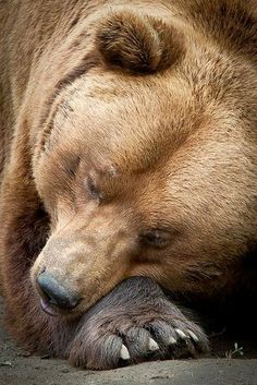 Brown Bear - Olmense Zoo by David Van Bael - Best to let sleeping bears lie. Mundo Animal, My Animal, Beautiful Creatures, Animals Beautiful, Animals And Pets, Cute Animals, Wild Animals, Baby Animals, Cute Bear
